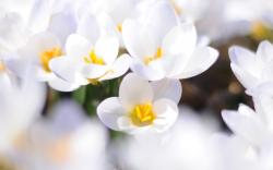 Awesome White Flowers Wallpaper