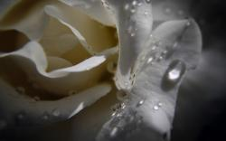 Awesome White Rose Macro Wallpaper HD Wallpaper