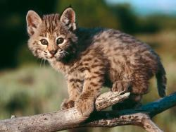 HD Free Baby Bobcat Wallpaper Baby Animals Animals Wallpaper Download