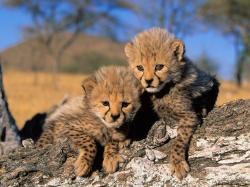 Baby Cheetah Cubs 1
