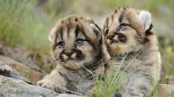2013-12-Baby-Cougar-Wallpaper
