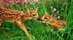 Baby Deer Wallpaper 08