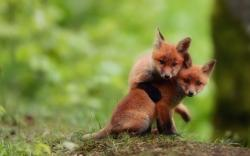 Baby Fox Wallpaper