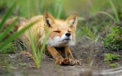 Free Baby Fox Wallpaper