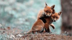 Baby Fox wallpaper background
