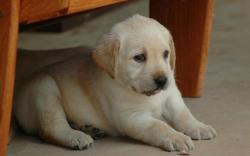 Labrador Retrieve Lovely Baby