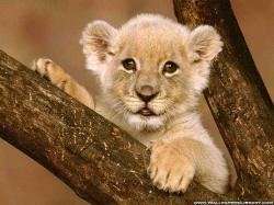 Cute Baby Lion Wallpapers Backgrounds Screensavers