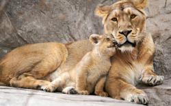 Free Baby Lion Wallpaper