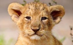 Baby Lions 2 HD Images Wallpapers