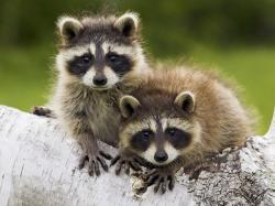 baby raccoons 850x637 Baby Raccoons