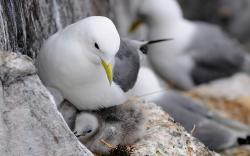 animals bird gull seagull chicks feathers mother love wallpaper background