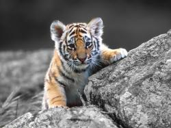 Baby Tiger Wallpaper 02