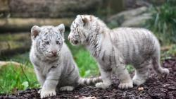 ... baby-white-tiger-wallpapers-hd ...