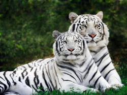 Baby White Tiger Wallpaper