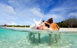 ... BOI-Exuma-Bahamas-Swimming-Pigs ...