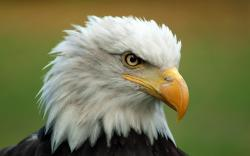 Free Bald Eagle Wallpaper