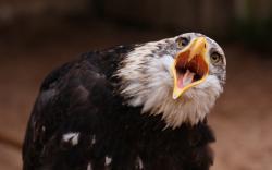 Bald eagle emotion