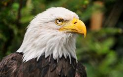 Wallpapers Hd Bald Eagle Head ...