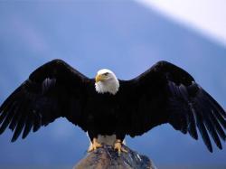 Bald Eagle - Wingspan.