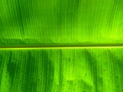 Banana leaf | by stopglobalwarming Banana leaf | by stopglobalwarming