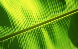 Bali Banana Leaf Wallpaper Download 1920x1200px