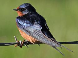 The barn swallow is a common nesting bird in the Refuge and on the Peninsula. It does not spend the winter here. It tends to build its nests on human-made ...
