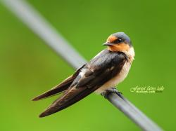 Barn Swallow Graceful Passerine Birds Wallpaper