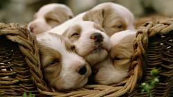 Basket Dogs Puppies