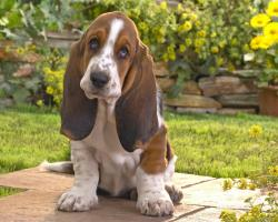 Basset Hound 9 Cool HD