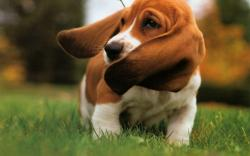 Basset Hound 10 Desktop Background