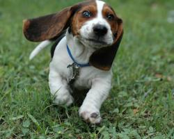 ... basset-hound-puppies; basset_hound_puppies_picture; dogs-dogs-pup