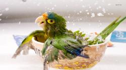 Baby parrot bathing wallpaper 1280x800 · Baby parrot bathing wallpaper 1366x768 ...