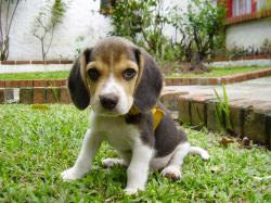 How to potty train a beagle puppy is something that all beagle owners probably want answered. There's nothing worse than stepping in an accident inside your ...