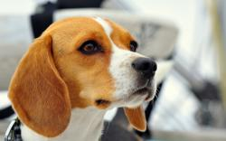 Dogs Beagle Snout AnimalsSnout