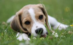 Beagle wallpaper