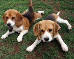 Beagle- Photo#06