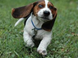 Pocket Beagle Wallpaper