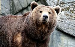 bear photos free   Brown Bear Wallpapers Pictures Photos Images
