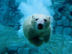 1920x1440 Swimming Polar Bear Wallpaper Bears Animals wallpaper