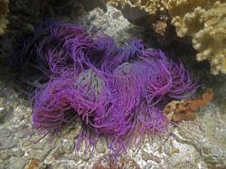 A beautiful purple anemone