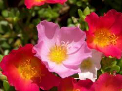 Anemone Flower w