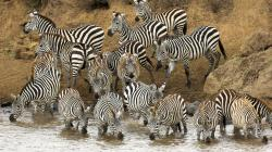 Beautiful Animal Zebras Photo 4 · Prev