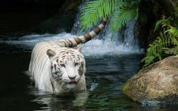 Animal Hd White Tiger Beautiful 797465 Wallpaper Wallpaper