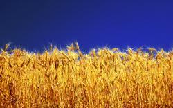 Free Barley Wallpaper