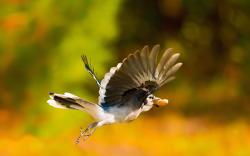 Beautiful Bird Jay Flight Nature Photo