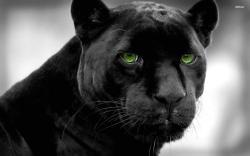 Beautiful Black Panther Wallpaper Wallpaper black panther