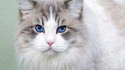 ... Beautiful cat with blue eyes for 1366x768
