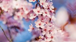 Cherry Blossom Beautiful Cherry Blossom ♡