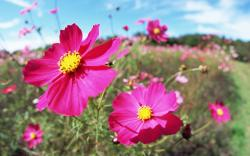 HD Wallpapers 6 Cosmos close-up photo - Cosmos Flowers photps