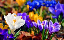 Beautiful Crocuses Wallpaper 1348